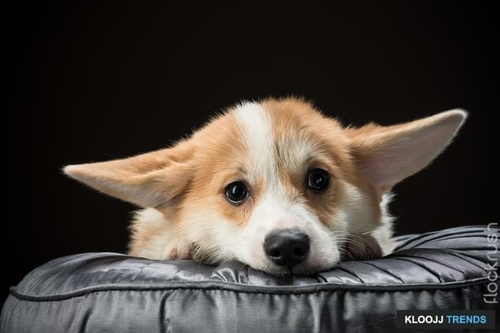 Welsh corgi pembroke puppy laying on a cushion with its ears hanging low against black background