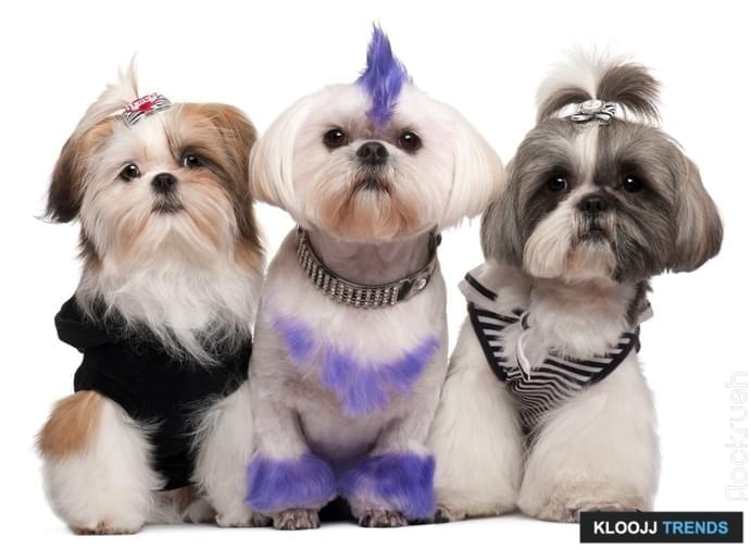 Three Shih Tzus dressed up, 2 years old, 5 months old, and 6 years old, in front of white background