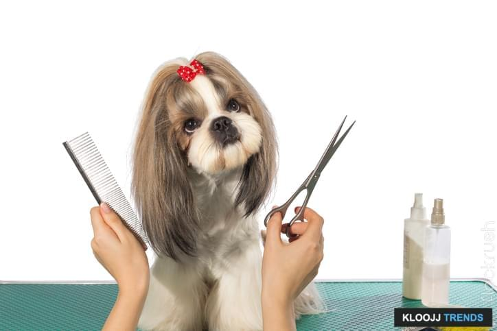 Beautiful shih-tzu dog at the groomer's hands with comb and  scissors - isolated on white