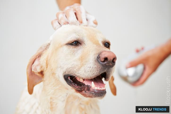 Labrador retriever is taking a shower at home.