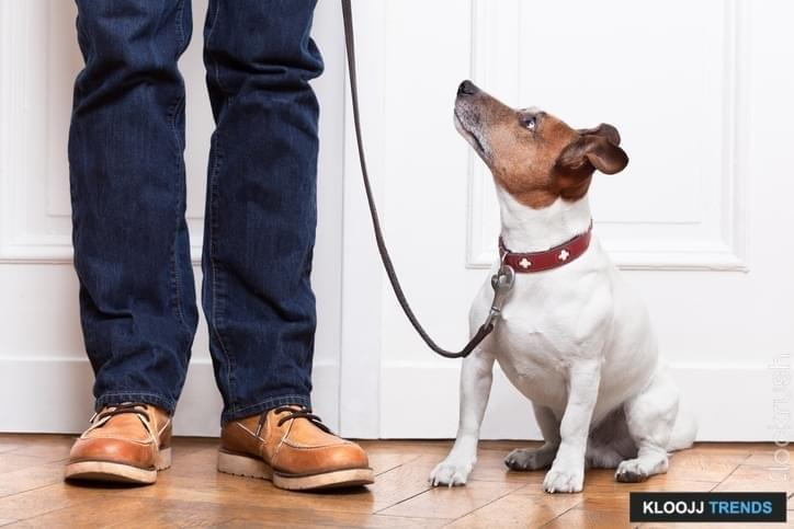 dog looking up to owner waiting to go walkies