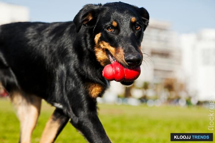 A Beauceron and Australian Shepherd mixed breed dog walking in an urban park with a red chew toy in its mouth.