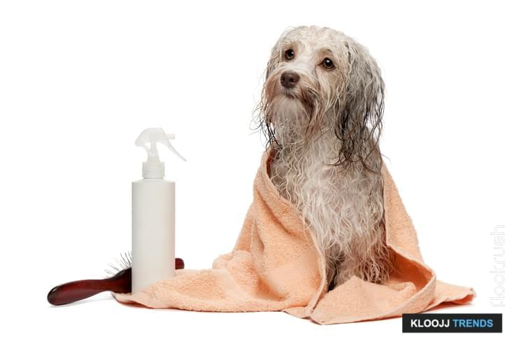 A wet chocolate havanese dog after the bath with a peach towel isolated on white background