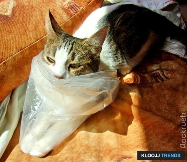 Funny Grumpy Cat in a Plastic Bag, studio shot