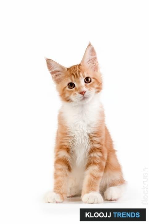 Little red kitten sitting on white background. Studio photography.