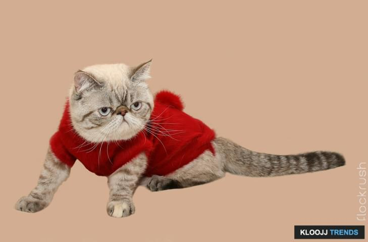 Persian cat in a warm sweater isolated on a light background