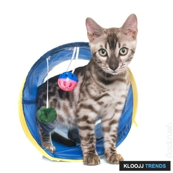 bengal kitten in tunnel  in front of white background