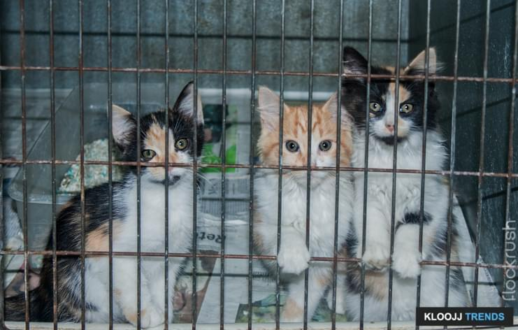 Two calico and one cream and white kittens waiting at the animal shelter for someone to give them a forever home.  Selective focus on the middle kittens face.