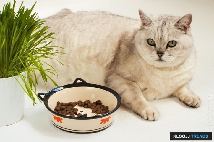 Big lazy overweight cat lying with a large bowl of dry food and grass for cats