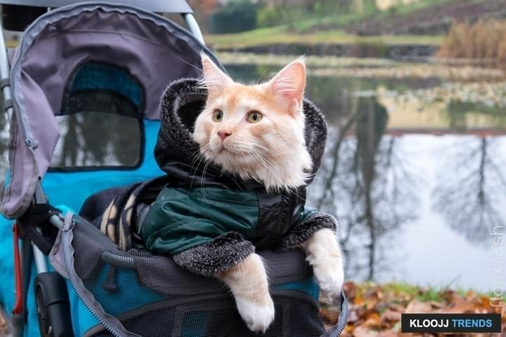 Close up photo of a cat in a stroller