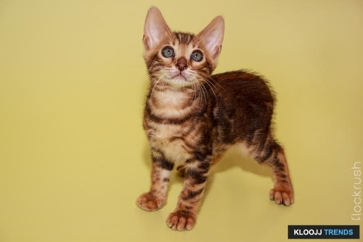 Small bengal kitten looking at the camera. Pet animals