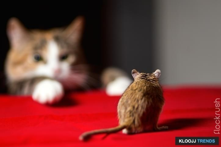 Cat hunting for  little gerbil mouse on red table. Russia.