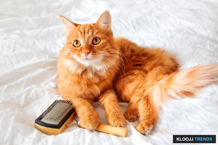 Ginger cat lies on bed with grooming comb. The fluffy pet comfortably settled on white sheet. Cute cozy background, morning bedtime at home.