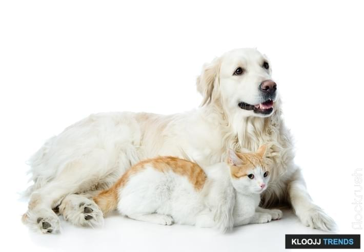 golden retriever dog and cat. looking away. isolated on white background
