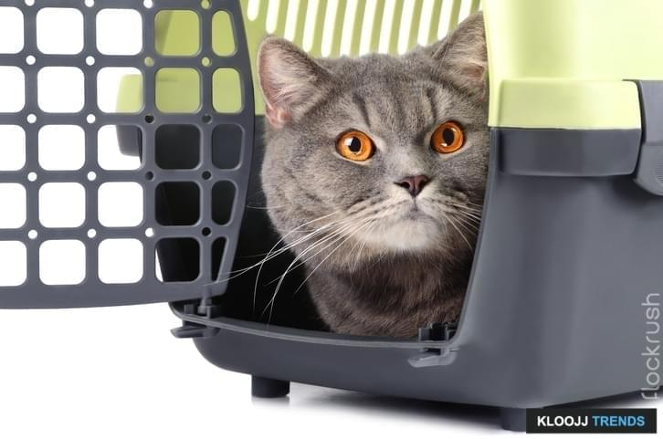 Portrait of British gray cat inside a plastic cage on white background