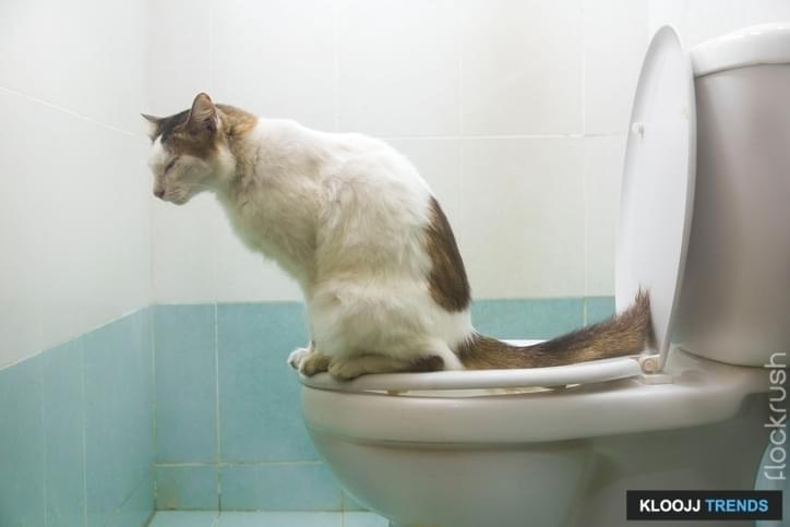 A cat knows to use a toilet properly.