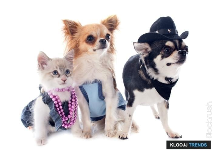 dressed birman kitten and chihuahuas in front of white background