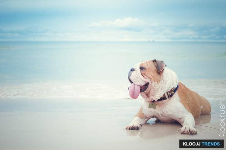 bulldog lying on the beach background