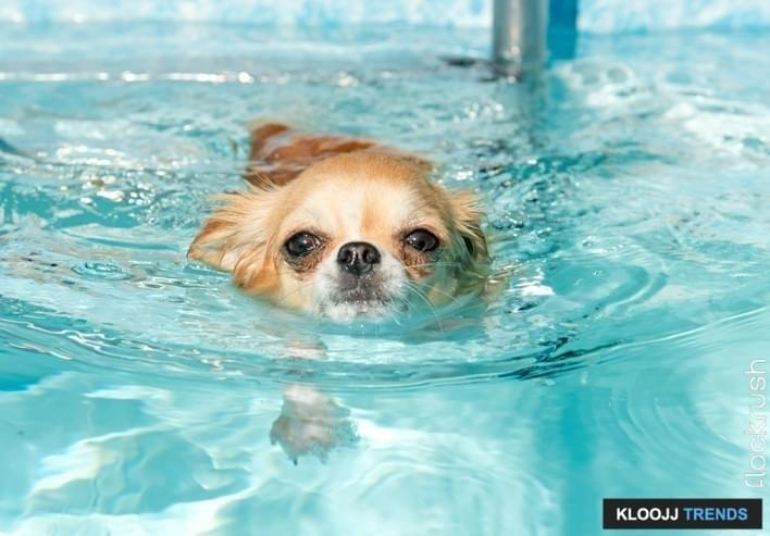portrait of a cute purebred  chihuahua who swimming