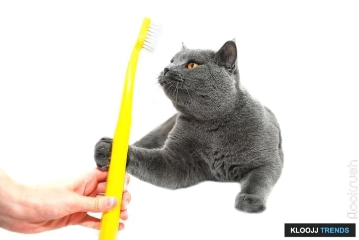 The British Shorthair is a domesticated cat whose features make it a popular breed in cat shows.