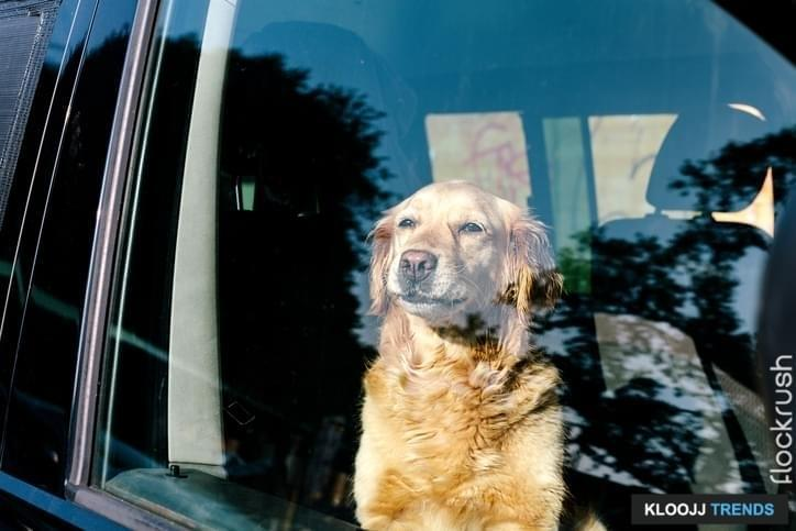 Dog looking out inside the car